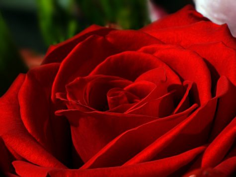"""Red rose"" by alfaneque is licensed under CC BY 2.0"