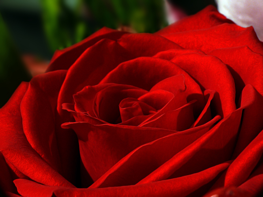 %22Red+rose%22+by+alfaneque+is+licensed+under+CC+BY+2.0